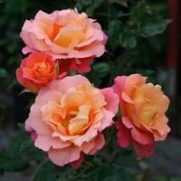 Роза шраб Фрайзингер Моргенрёте-оранжевый