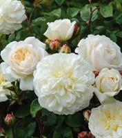 Роза шраб Гладиатор-белый