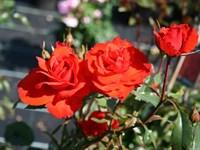 Роза шраб Кордес Бриллиант-оранжевый