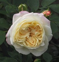 Роза шраб Лемп-кремовый
