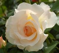 Роза шраб Лунаси-кремовый