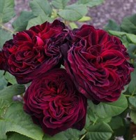 Роза шраб Морелло-темно-бордовый