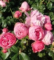 Роза шраб Плей Кет-розовый