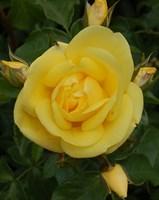Роза шраб Равенна-желтый