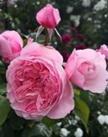 Роза шраб Роуз Лайт-розовый