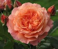 Роза шраб Салмон-оранжевый