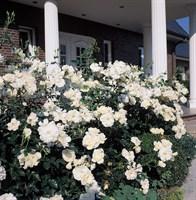 Роза шраб Шнивитхен-белый