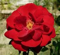Роза шраб Улмер Мунстер-красный