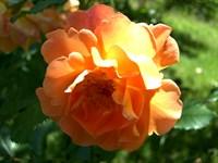 Роза шраб Вестерланд-оранжевый