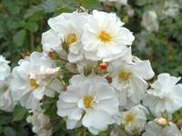 Роза почвопокровная Калико-белый