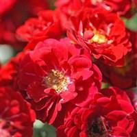Роза почвопокровная Кармин-красный