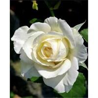 Роза почвопокровная Цитадель-белый