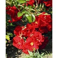 Роза почвопокровная Фейрол-красный