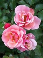 Роза почвопокровная Мьюзик-розовый