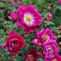 Роза почвопокровная Неон-фиолетовый