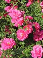Роза почвопокровная Квест-розовый