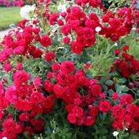 Роза почвопокровная Скарлет Мейдиланд Декор-красный
