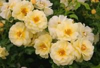 Роза почвопокровная Санни-желтый