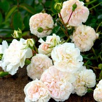 Роза почвопокровная Свани-белый