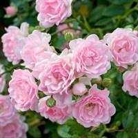 Роза почвопокровная Фейри-розовый