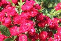 Роза почвопокровная Триумф-розовый
