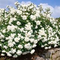 Роза почвопокровная Вайт Мейдиланд-белый