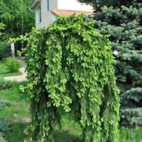 Ель обыкновенная Инверса-зеленый
