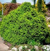 Ель обыкновенная Олендорфи-зеленый