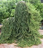 Ель обыкновенная Пендула Мейджор-зеленый