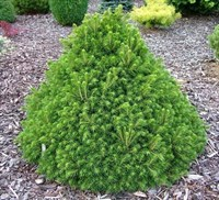 Ель обыкновенная Томпа-зеленый