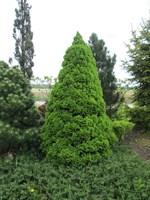 Ель канадская Коника-зеленый