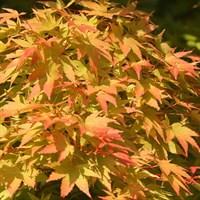 Клен веерный Сангокаку-оранжевый