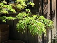 Клен веерный Сейрю-зеленый