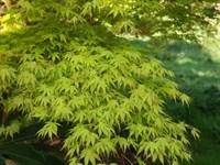 Клен дланевидный-зеленый