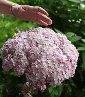 Гортензия древовидная Кендибелле Маршмеллоу-розовый