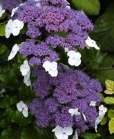 Гортензия шершавая Макрофила-фиолетовый