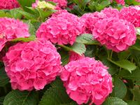 Гортензия крупнолистная Мася-розовый