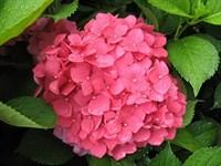 Гортензия метельчатая Пинк Перфект-розовый
