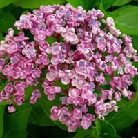 Гортензия макрофила Аиша-розовый