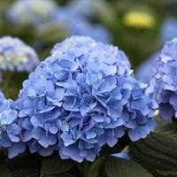 Гортензия крупнолистная Блау Цверг-голубой