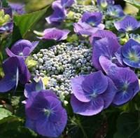 Гортензия крупнолистная Блаумайзе-фиолетовый
