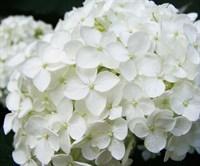Гортензия крупнолистная Брайт Вайт-белый