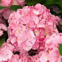 Гортензия крупнолистная Дансинг Энджел -розовый