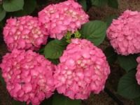 Гортензия крупнолистная Фройденштайн-розовый