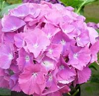 Гортензия крупнолистная Гертруда Глан-розовый
