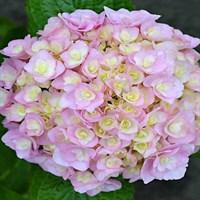 Гортензия крупнолистная Доппио Нувола-розовый