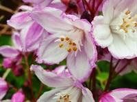 Дейция пурпурная Калмифлора-розовый