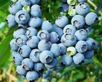 Голубика высокорослая Блюкроп-синий