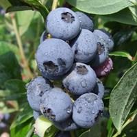Голубика высокорослая Голдтраубе 71-синий
