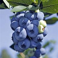 Голубика высокорослая Торо-синий